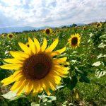 Entre pluie et soleil les tournesols frivoles saffolent et moihellip